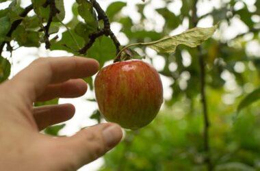 appel plukken