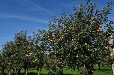 apple-tree-3668385_1280